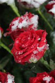 Red rose in the snow — Stock Photo