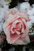 雪に覆われたピンクのバラ — ストック写真