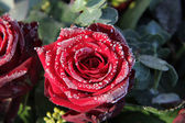 Frosted red rose — Stock Photo