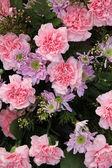 Carnations and mums — Fotografia Stock
