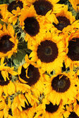 Big group of sunflowers — Stock Photo