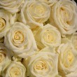Stock Photo: Group of frosted white roses