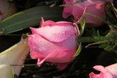Gotas de orvalho sobre uma rosa-de-rosa — Foto Stock