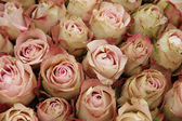 Pale pink roses — Stock Photo