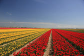 Tulips in various colors on a field — Stock Photo