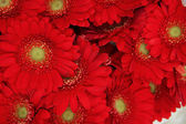 Just red gerberas — Stock Photo