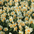 Daffodils in a field — Stock fotografie