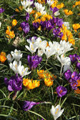 White, yellow and purple crocusus — Stock Photo