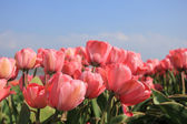 Pink tulips and a blue sky — Stock Photo