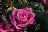 冻结粉红色的玫瑰 — 图库照片