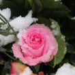 Snow covered pink rose — Stock Photo