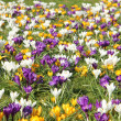 White, yellow and purple crocusus — Lizenzfreies Foto