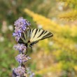 Butterfly on lavender, Papilio machaon — Stock Photo #38041039