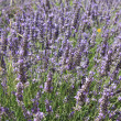Lavender fields near Sault, France — Stock Photo #41505933