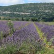 Lavender fields near Sault, France — Stock Photo #41505945