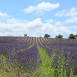 Lavender fields near Sault, France — Stock Photo #41506207