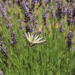 Butterfly on lavender, Papilio machaon — Stock Photo #41506283