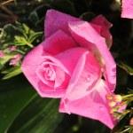 Frozen pink rose — Stock Photo