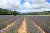 Lavender fields near Sault, France — Stock Photo