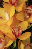 Yellow cymbidium orchids — Stock Photo