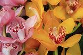 Pink and Yellow cymbidium orchids — Stock Photo