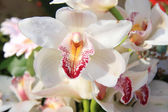 White cymbidium orchids — Stock Photo