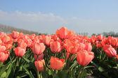розовые тюльпаны — Стоковое фото