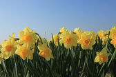 Yellow daffodils in a field — Stock Photo