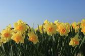 Gelbe Narzissen in einem Feld — Stockfoto