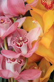 Pink and Yellow cymbidium orchids — Stock Photo