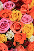Multicolored wedding roses — Stock Photo