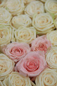 White and pink bridal roses — Foto Stock
