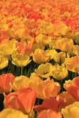 Yellow and orange tulips — Stock Photo