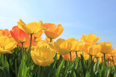 Yellow and orange tulips — Stock fotografie