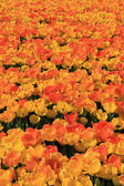 Yellow and orange tulips — Foto Stock