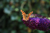 Comma butterfly or Polygonia C Album — Stock Photo