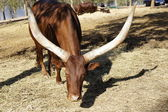 The Ankole-Watusi — Stock Photo