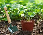 Strawberry plant in pot — Stock Photo