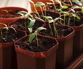 Seedlings — Foto de Stock