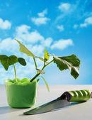 Mudas de pepino em pote — Fotografia Stock