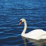 Swan — Stock Photo #32656771