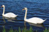 Swan couple — Stockfoto