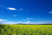 Yellow field — Stock Photo