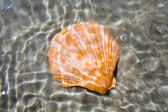 Seashell — Foto de Stock