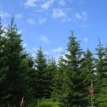 High trees against blue sky — Stock Photo