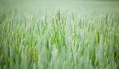 Unripe cereal — Stock Photo
