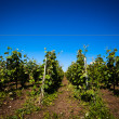 Viticulture — Stock Photo #33693019