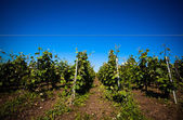 Viticulture — Stock Photo