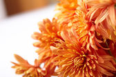 Beautiful chrysanthemum — Stock Photo