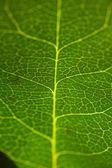 текстура зеленого листа — Стоковое фото